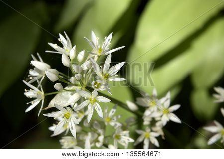 Blossoms Of The Spice Plant Bear Leek (allium Ursinum)