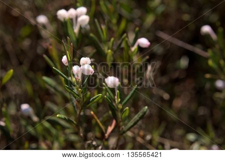 Bell-shaped Blossoms Of The Bog-rosemary (andromeda Polifolia)