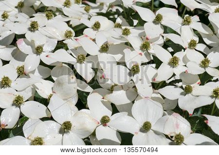 Dogwood in bloom in The Apenheul Apeldoorn in the Netherlands.
