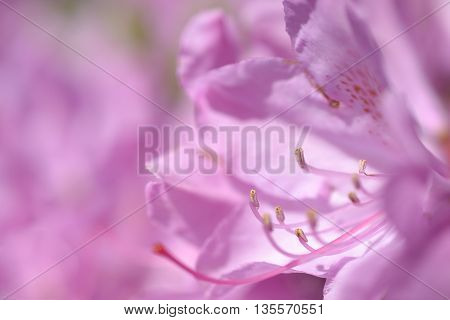 Pistil and stamen of the Rhododendron flower.