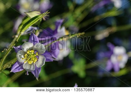 Blue white aquilegia flower on blur background
