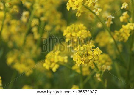 Macro Of The Blossoms Of Herb Barbara (barbarea Vulgaris)