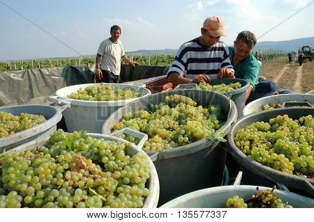 Sremska Kamenica, Serbia - September 19, 2009:  Workers work on a loading grapes on  the trailer during grape harvest  in the vineyard in Sremska Kamenica, Vojvodina,  in Serbia.