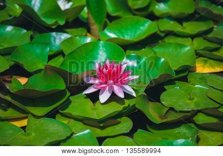 Pink water lily in a quiet pond. Single flower of a beautiful full-blown large pink lily close-up among the many green leaves on a pond lit by the sun's rays on a beautiful warm sunny summer day.