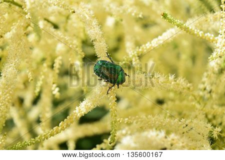 a green dung chafer on a goats-beard bush