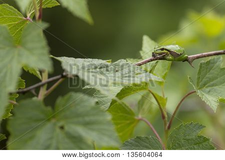 European Tree Frog (Hyla arborea) resting on a branch of a Rose