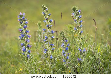 Viper's Bugloss (Echium vulgare) flowering in a Dune Valley and visited by a Buff-tailed Bumblebee (Bombus terristris)