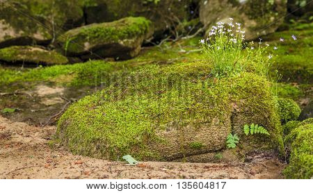 Creeping Bluet flowers and moss covering a rock near Cumberland River in Southern Kentucky
