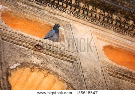 Pigeon in the historic tomb walls