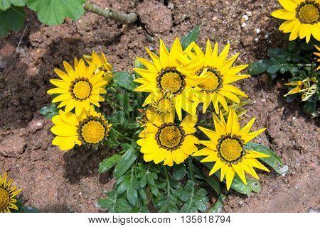 Yellow small Sun Flower in the garden