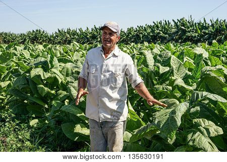 Santiago de Cuba Cuba - January 12 2016: typical scene in the Cuban countryside. Cuban tobacco grower explains how he grows and harvest his tobacco fields