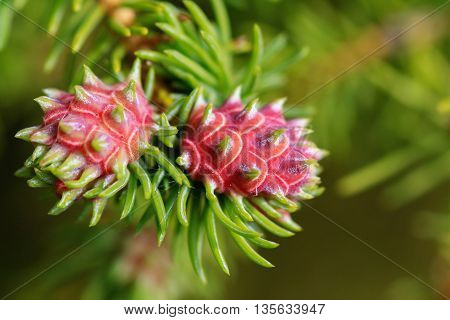 Cooley Spruce Gall on a Spruce Tree Branch