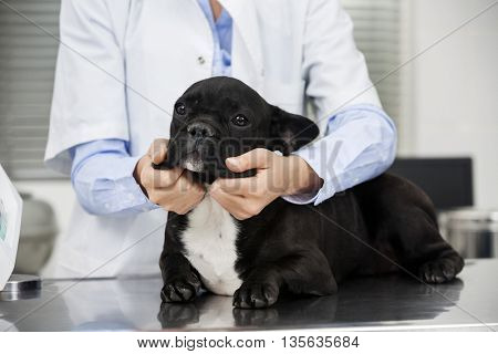 Midsection Of Vet Examining Bulldog On Table