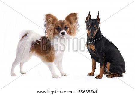 tvo dogs,  Miniature Pinscher, Papillon