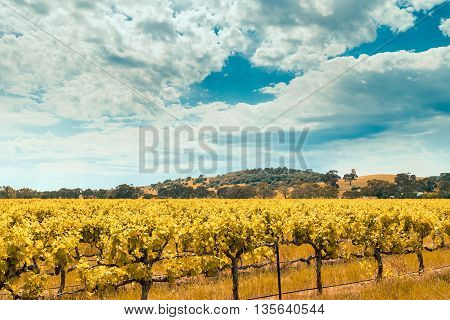 Picturesque Barossa Valley in yellow colours South Australia. Color-toning effect appplied