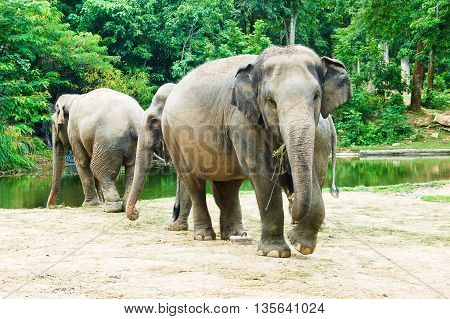 Three adult elephants in a zoo at Thailand