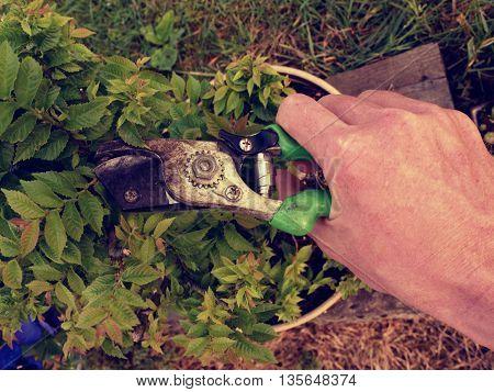 Gardener Hand Cut Branch  On Bonsai Hornbeam. Cleaning Treetop