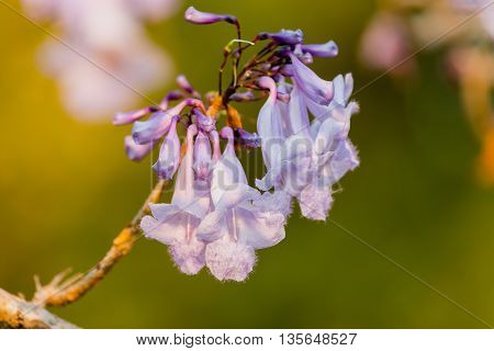 Close up purple Jacaranda flowers on branch In the garden