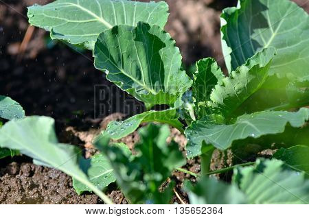 Watering the cabbage in the vegetable garden.Watering of cabbage seedlings.