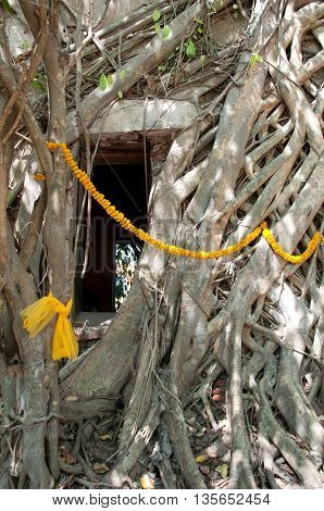 Roots of bo tree cover the ancient buddhist temple unseen in Thailand