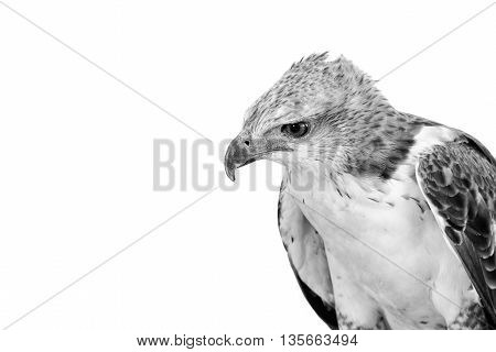 Portrait of beauty hawk Changeable Hawk Eagle with copy space