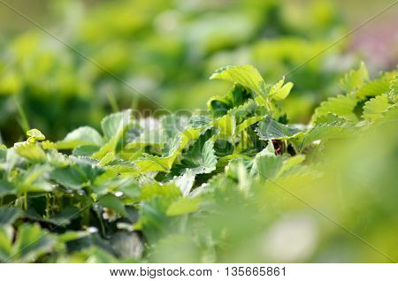 Bush of strawberries. Close-Up. Strawberry seedlings in the garden. Strawberries plants background.Bush of strawberries. Close-Up. Bush of strawberries. Close-Up.strawberry seedlings in the garden
