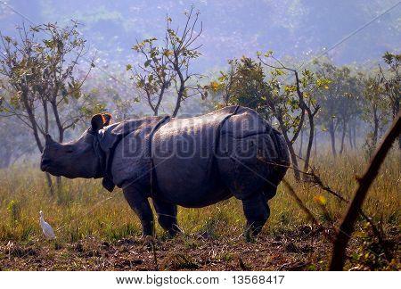 One horned Indian Rhinoceros