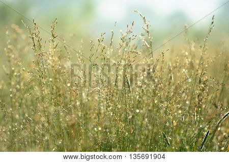 Wild grass with dew in sunny weather closeup