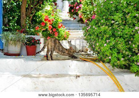 In Kastellorizo Island of Greece greek cats enjoy playing in street in siesta time