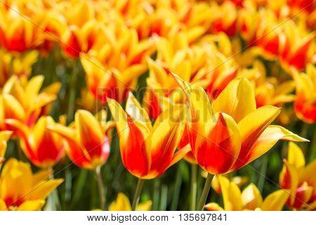 Orange Tulips In Nature In Spring