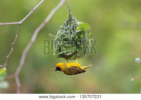 Cape weaver making a woven nest in South Africa. The Cape weaver is a stocky 17 cm long bird with streaked olive-brown upperparts and a long pointed conical bill. The breeding male has a yellow head and underparts, an orange face, and a white iris. They m