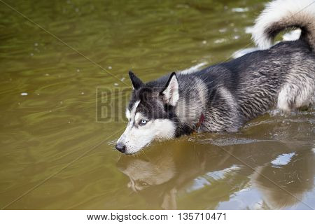 Siberian Husky frolics in the river. The dog bathes in the cool water of the river.
