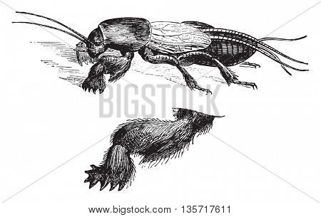 Fig 1. The town Mole cricket, Fig 2. Anterior leg three times bigger, vintage engraved illustration. Magasin Pittoresque 1852.