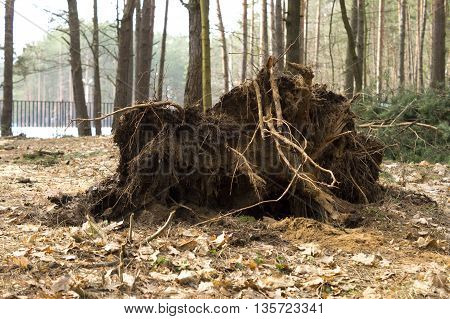 photo on tree roots, felled by hurricane
