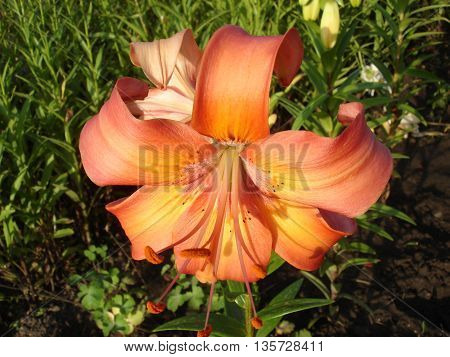 Asiatic hybrids liliy 'Valley Orange' orange flowers and buds. poster