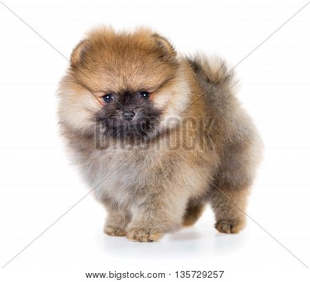 Portrait of a Pomeranian puppy age of 1, 5 month isolated on white background