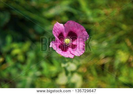Beautiful pink poppy in a field in summer