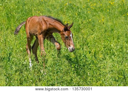 First steps of newborn foal on a summer pasture
