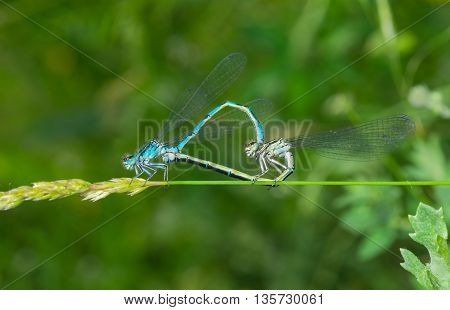 Coupling act in dragonfly family at summer season