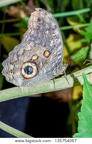 Caligo Oileus Butterfly The Owl Butterfly Amazonian Rainforest South America
