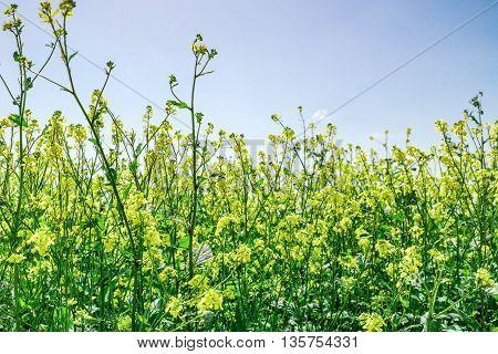 Oilseed Rape Closeup