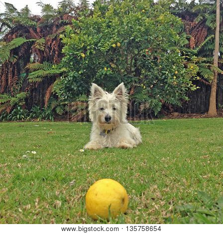 Scruffy west highland white terrier (westie) dog staring at a lemon in a back yard garden, with a lemon tree and ferns in the background. Photographed in New Zealand.