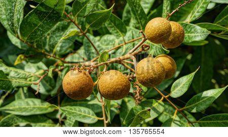 Longan orchards - Tropical fruits ripe longan hanging on tree
