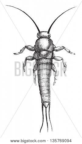 Silverfish or Lepisma saccharina. From Magasin Pittoresque, vintage engraving, 1878.