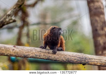 Goeldi Marmoset Or Goeldi Monkey Sitting On A Tree Stump Ecuador South America