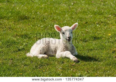 closeup of newborn lamb resting on meadow