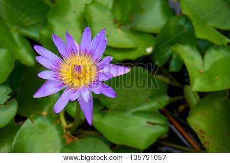 Purple water lily (or Nymphaea stellata; Nymphaea nouchali) and ants are swarming inside. Blurred lotus leafs background.