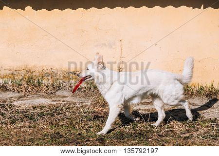Swiss Shepherd Dog Berger Blanc Suisse Play With Plate Outdoor.