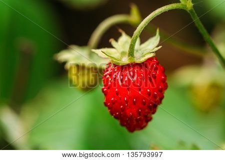 Red Fragaria Or Wild Strawberries, Wild Strawberry. Growing Organic Wild Strawberry. Ripe Berry In Fruit Garden. Natural Organic Healthy Food Concept.