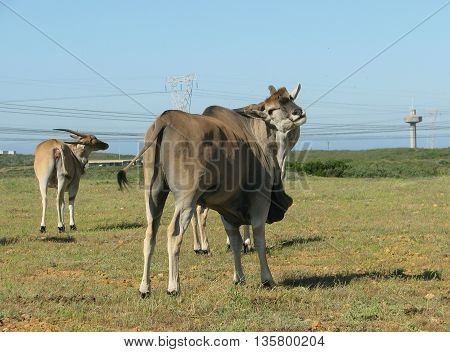 Eland Bull And Cow, Koeburg Nature Reserve, Cape Town South Africa